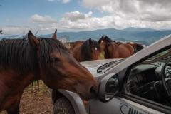 Divlji konji na Stolovima ne plaše se ljudi