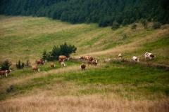 Goveda na Velikoj livadi Studene planine