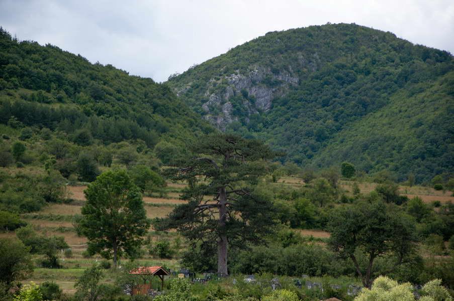Bor star 400 godina na seoskom groblju u Rsovcima