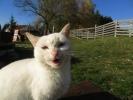 Bela maca iz Sirogojna